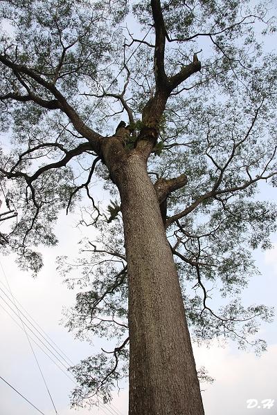 頂笨仔百年苦楝樹