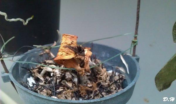 失敗的蘭花換盆