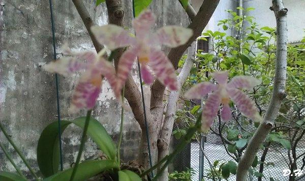 大舅的蝴蝶蘭還在開花,花期夠久
